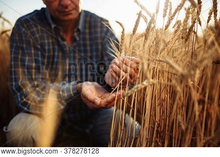 Farmer Sitting Among The Ears Of Wheat Pours Grains From Hand To Hand Checking The Quality Of The Ne