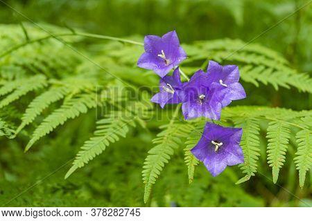 Wald Peachleaf Bellflower Blau Lila Blumen Auf Dichten Farn Hintergrund