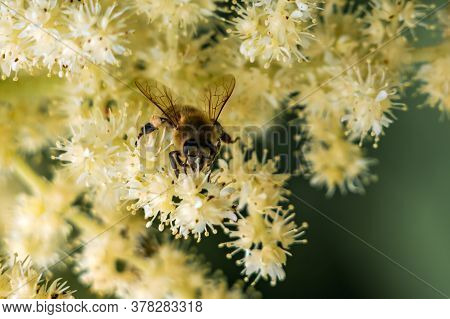 European Honey Bee (apis Mellifera) Walking Over Small White Flowers Looking For Pollen.