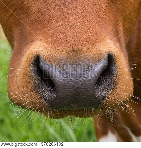 Closeup Of Front View Of Brown Cow Muzzle