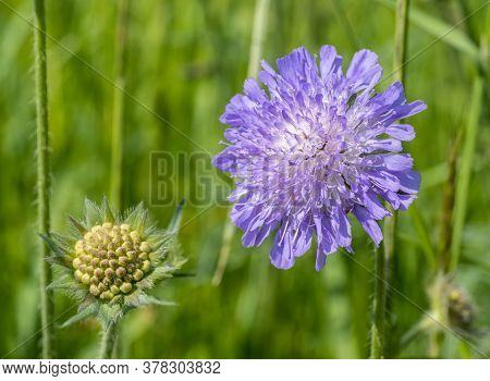 Field Scabious Flower Heads In Natural Sunny Ambiance
