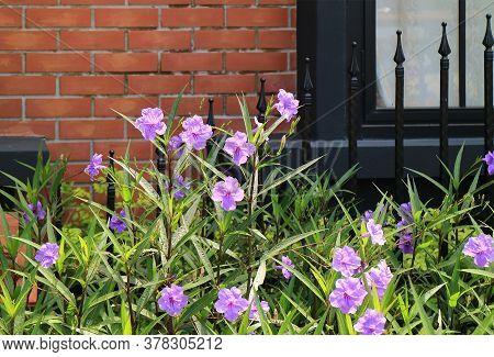 Shrub Of Pastel Purple Mexican Petunia Or Ruellia Simplex On Brick Wall Background