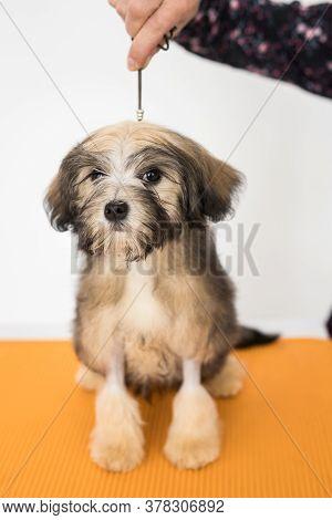 A Little Brown Bichon Lion Look In Camera. Brown Puppy On Orange Chair