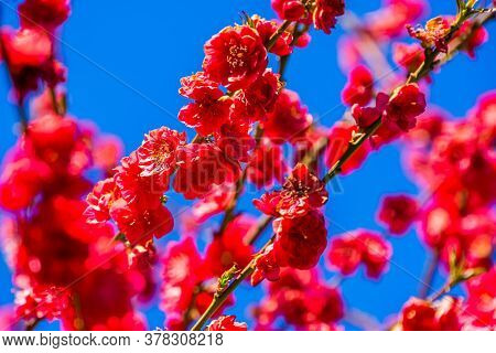 Flowers Of A Melred Peach Tree In Closeup, Tropical Plant Specie From Asia