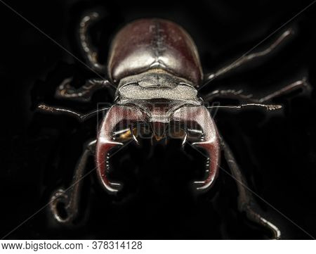 Lucanus Cervus Insect Is Listed In The Red Book.