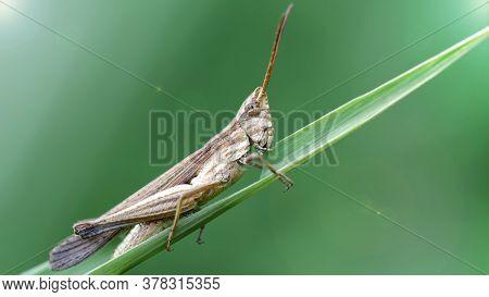 Grasshopper On A Leaf, Koh Phayam, Thailand