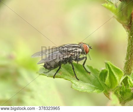 Flies (sarcophaga Carnaria) - Close Up Details Of Flies, Isolated Flies, Flies On The Leaves