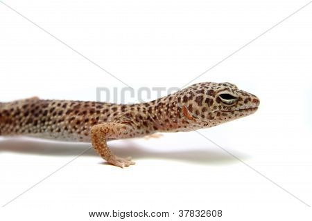 The Leopard gecko
