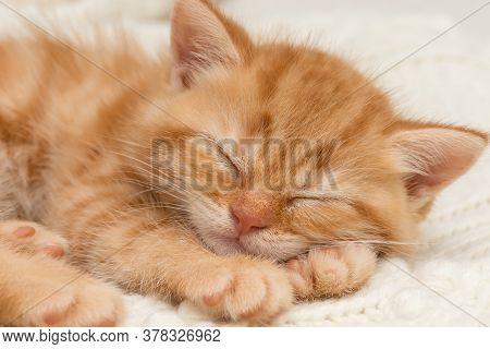 Small, cute orange British kitten