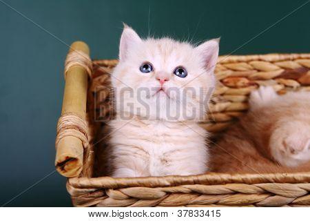 Scottish fold kitten on the green background poster
