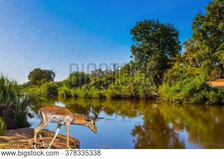 Black-headed antelope impala by the lake at a watering hole. Animals live and move freely in the African savannah. South Africa. The Kruger Park. The concept of ecological and photo tourism