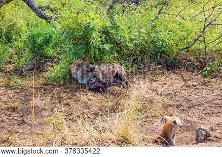 The Kruger Park. Hyena spotted feeds her newborn babies with her milk. Animals live and move freely in the green bushes. South Africa. The concept of active, extreme and photo tourism