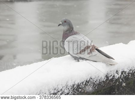 A Grey Pigeon Looks Out At The Water From A Snow Covered Railing