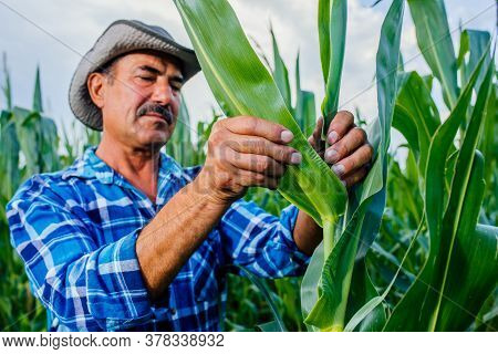 Farmer Or Agricultural Expert Inspecting Quality Of Corn In Field, Agronomist Expert