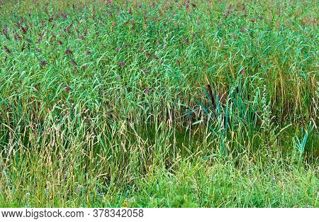 Landscape With Reed Thickets On The Swamp For A Natural Background