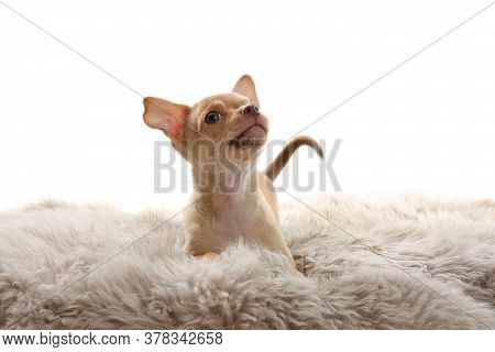Cute Chihuahua Puppy On Faux Fur. Baby Animal