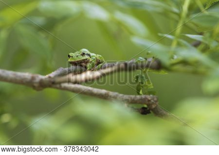 Green Tree Frog Tree Frog - Hyla Arborea Sitting On A Tree Branch. There Are Leaves Of A Tree Around