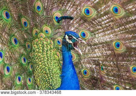 Portrait Of A Peacock Head With An Open Beak. Behind The Peacock Is Its Outstretched Tail On Which B