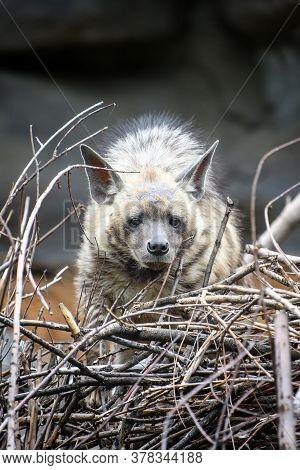 Striped Hyena, Hyaena Hyaena. Animal In The Nature Habitat. Hyena In The Grass