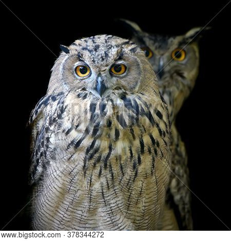 Close Up Two Owl Portrait On Dark Background
