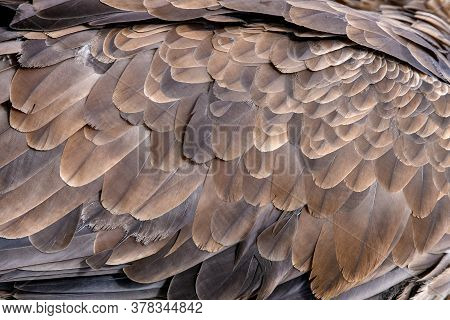 Close Up Texture Of Brown Eagle Feathers