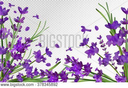 Lavender Background. Beautiful Violet Lavender On Transparent Background. Aroma Lavender In Motion.