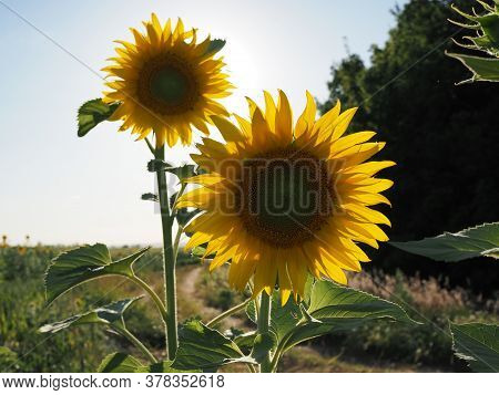 Two Bright Colors Sunflowers On Backgrounds Blue Sky
