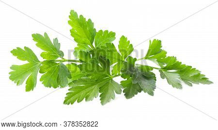 Fresh Green Organic Parsley Isolated On White