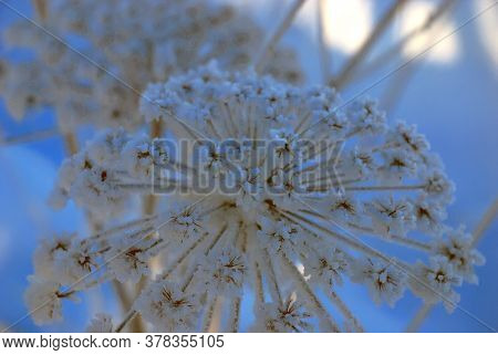 High Inflorescences Hogweed Dusted With Snow. Close Up