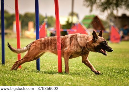 Belgian Malinois Is Running On Czech Agility Competition Slalom. Amazing Day On Czech Agility Compet