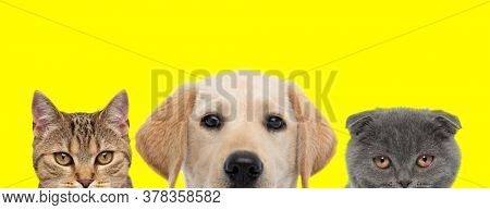 team of 3 animals consisting of a metis cat, Labrador Retriever dog and Scottish Fold cat arranged in line are looking at camera on yellow background