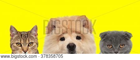 cute metis cat, Chow Chow dog and Scottish Fold cat are standing side by side and hiding their faces from camera on yellow background