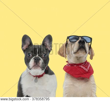 adorable french bulldog dog wearing red leash next to a labrador retriever dog wearing bandana and sunglasses with style on yellow background