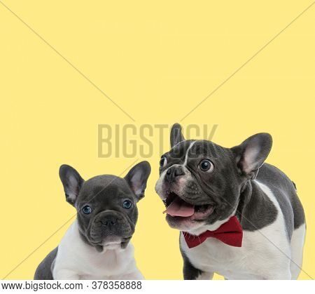 young french bulldog dog sitting next to a mature french bulldog dog sticking out tongue happy on yellow background