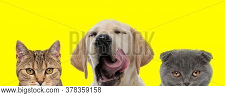 couple of 3 animals consisting of a metis cat, Labrador Retriever dog and Scottish Fold cat are standing next to each other and yawning with tongue out on yellow background