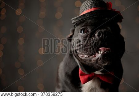 happy frenchie dog wearing red bowtie and hat, looking to side, sticking out tongue and panting on lights background