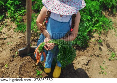 Beautiful Little Child With Carrots In Garden. Girl Farmer, Horticulture.