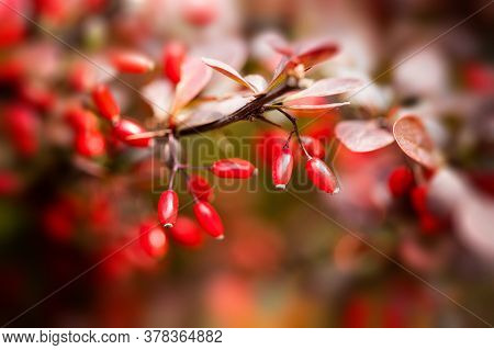 Japanese Garden Autumn Nature. Berberis Thunbergii Or Thunbergs Red Barberry Shrub Family Berberidac