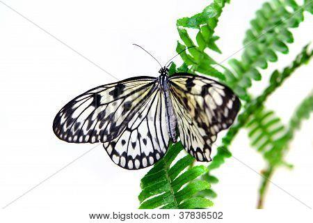 Butterfly Paper Kite (Idea leuconoe leuconoe), isolated on the white poster