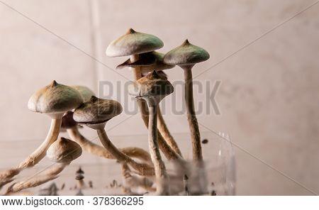Professional Growing Of Psilocybin Mushrooms In America. Scientific Studies Of The Effects Of Psiloc