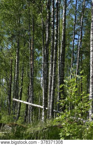 A Birch Grove In The Summer And A Fallen Tree