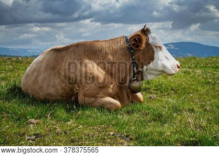 Dairy Cattle On Pasture, Mountain Milk Cow Relaxing