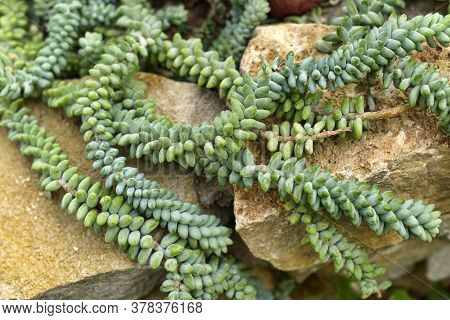 Sedum Morganianum (donkey Tail Or Burro's Tail) - A Species Of Flowering Plant In The Family Crassul