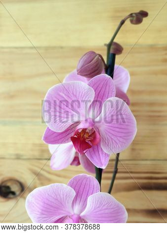 Phalaenopsis White Pink Orchid With Striped Petals, Variety