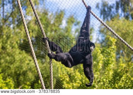 Siamang gibbon, Symphalangus syndactylus, in a zoo with ropes to climb and swing from. The largest gibbon and indigenous to Indonesia, Malaysia and Thailand. Endangered in the wild.