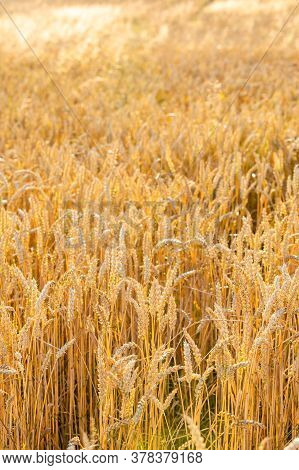 Golden Field Of Wheat In Sunny Day In Czech Republic