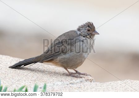 California Towhee Bird Rest Comfortably On The Top Of Cinder Block Wall With Eye Looking Out For Pot