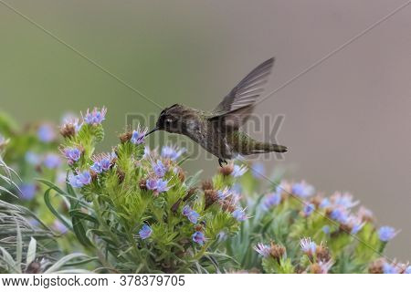 Adorable Anna's Hummingbird Hovers Over A Wildflower Bush With Wings Rotated Behind With Beak Firmly