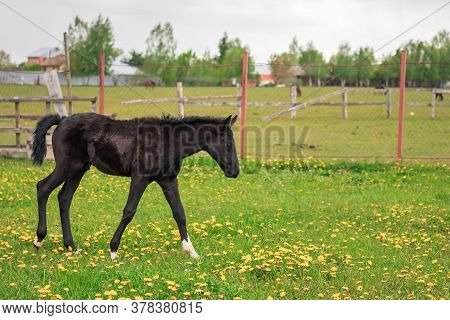A Cute Long Legged Black Foal Walks On A Warm Summer Cloudy Day In A Green Field With Yellow Flowers