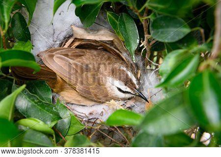 The Yellow-vented Bulbul (pycnonotus Goiavier), Or Eastern Yellow-vented Bulbul, Is A Member Of The